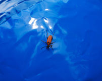 Brown bug. (Elateridae) on the blue background Royalty Free Stock Photo