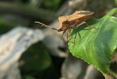 Brown bug on green leaf jumps to waterfall Stock Photo