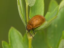 Brown bug on a green leaf Royalty Free Stock Image