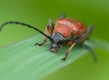 Brown bug on green sheet Royalty Free Stock Image
