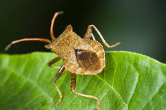 Brown bug on leaf Royalty Free Stock Photography