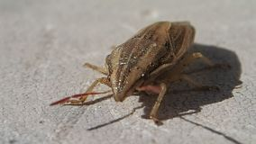 Brown bug turning in the frame. A brown bug turning in the frame slowly stock video footage