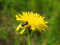 Brown  bug on yellow  flower Stock Images