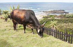 Brown bull eating grass with the ocean Stock Photos