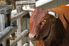 Brown bull on a farm. Brown bull by the fence on a farm Stock Images