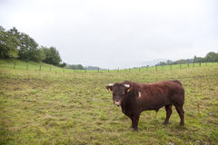 Brown bull in field in the Jura Stock Image
