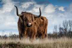 Brown Bull on Green Glass Field Under Grey and Blue Cloudy Sky Royalty Free Stock Image