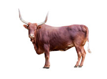 Brown bull isolated on whit Royalty Free Stock Images