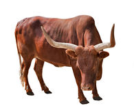 Brown bull with large horns Royalty Free Stock Image