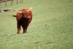 Brown bull on pasture Stock Photography