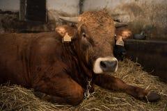 Brown bull Stock Photos