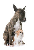 Brown bull terrier and chihuahua Stock Photos
