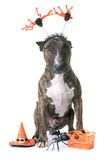 Brown bull terrier and halloween Stock Photo