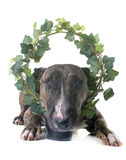 Brown bull terrier and ivy Royalty Free Stock Photography
