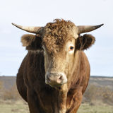 Brown bull Stock Image