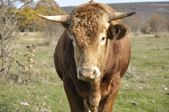 Brown bull Stock Photos