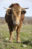 Brown bull Stock Image