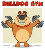 Brown Bulldog Cartoon Mascot Character With Sunglasses Working Out With Dumbbells Stock Photo