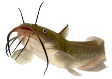 Brown bullhead. Live fish in aquarium - isolated Royalty Free Stock Photo