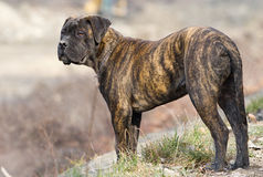 Brown bullmastiff dog Royalty Free Stock Photos