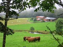 Brown Bulls on green pasture royalty free stock photography