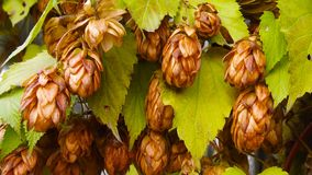Brown bumps of hops. Brown bumps of hops on a branch in late autumn royalty free stock photo