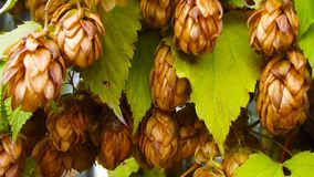 Brown bumps of hops. Brown bumps of hops on a branch in late autumn stock photography