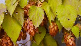 Brown bumps of hops. Brown bumps of hops on a branch in late autumn stock photos