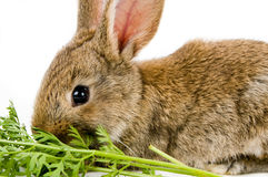 Brown bunny Royalty Free Stock Image