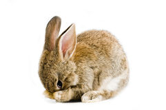 Brown bunny. Brown baby bunny isolated on white background Stock Photos