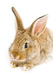Brown bunny Royalty Free Stock Photography