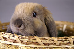 Brown bunny. A brown bunny sitting in a basket Royalty Free Stock Photos