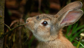 Brown bunny. Profile of a brown bunny rabbit in the green garden Stock Image