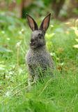 Brown bunny. Cute litlle brown bunny sitting in spring grass, in the green garden Stock Image