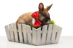 Brown bunny with bow tie is in white pot Royalty Free Stock Photo
