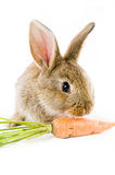 Brown bunny and a carrot Stock Photography