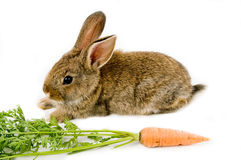 Brown bunny and a carrot Stock Photos