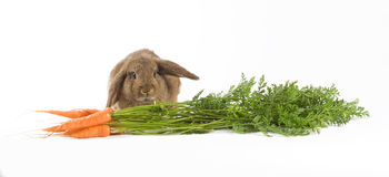 Brown bunny and carrots Stock Image