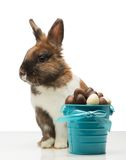 Brown bunny with chocolate eggs Royalty Free Stock Photos