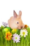 Brown bunny  in green grass with flowers and easte Stock Photos