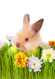 Brown bunny  in green grass with flowers and easte Royalty Free Stock Image