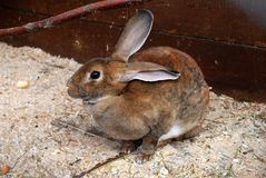 Brown bunny hare Royalty Free Stock Photo