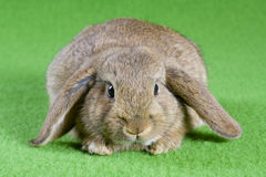 Brown bunny, isolated on green Royalty Free Stock Image