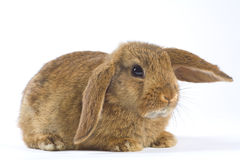 Brown bunny, isolated on white Royalty Free Stock Images