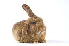 Brown bunny, isolated on white Stock Image