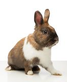 Brown bunny is isolated on white Stock Photography
