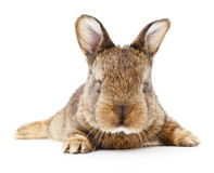 Free Brown Bunny Rabbit. Royalty Free Stock Images - 73607159