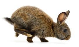 Brown bunny rabbit. Stock Photo