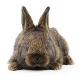 Brown bunny rabbit. Royalty Free Stock Photo