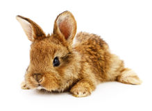 Brown bunny rabbit. Image of a brown bunny rabbit Royalty Free Stock Photo